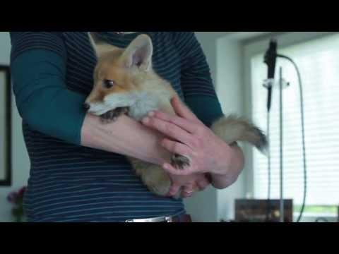 Fuchs Ist Kein Haustier Arzt Wildert Jungfüchse Aus Youtube