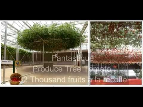 Fantastique, Produce Tree Tomato 32 Thousand fruits à la récolte