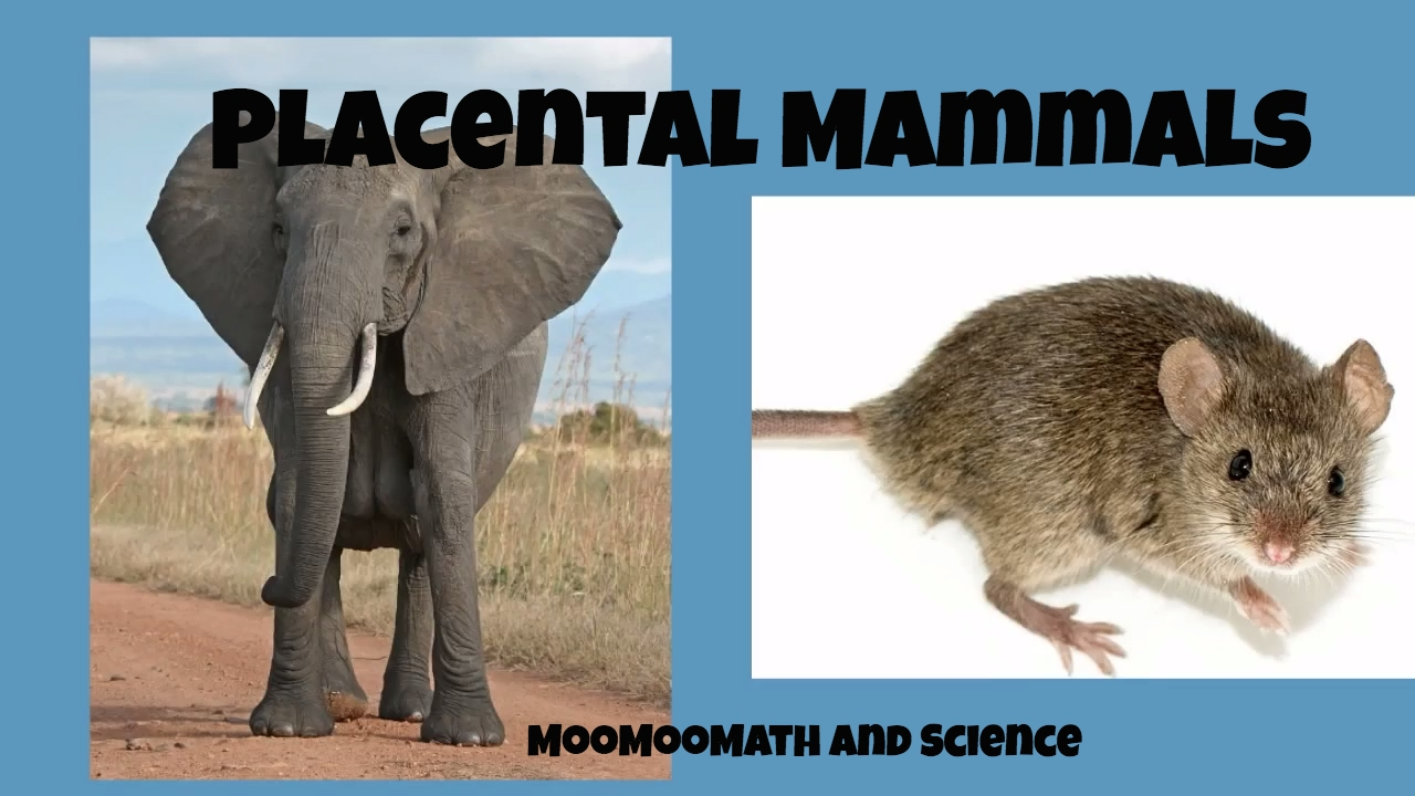 Placental Mammals - YouTube
