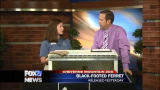 Black-footed ferret on FOX21 Morning News