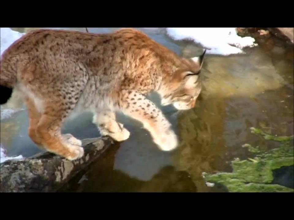 amazing grace with swedish lynx youtube