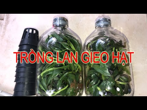 Cách trồng cây lan gieo hạt từ chai mô II Vườn của Hoàng | Foci