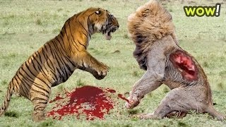 León vs Tiger vs Bear