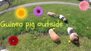 Happy guinea pig outside