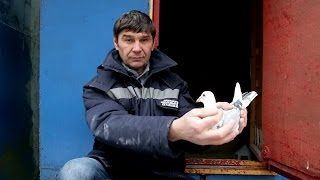 Спортивные голуби - система.(Спортивные голуби Александра Смаля. Александр Смаль-участник