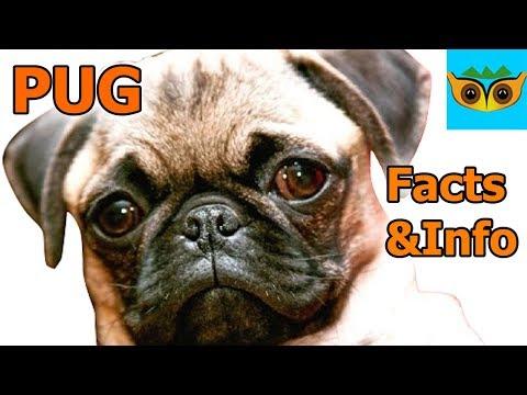 Pug Information
