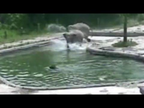 Elephants rush save drowning calf