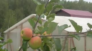 видео Карликовые яблони: сорта, отзывы и описание