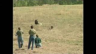 Boykin Spaniel Field Trials