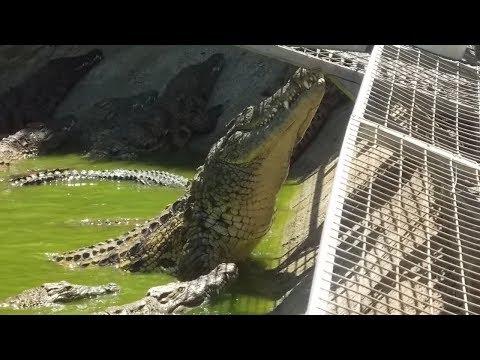 Crocodile Park - Feeding Frenzy