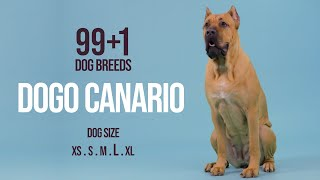 Dogo Canario / 99+1 Dog Breeds