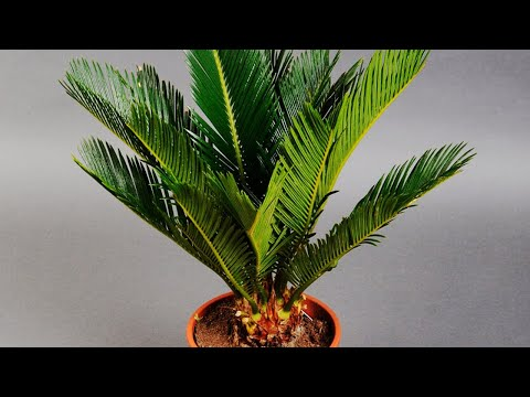 CYCAS (SAGO PALM) CARE CONDITIONS | PLANT ANALYSIS