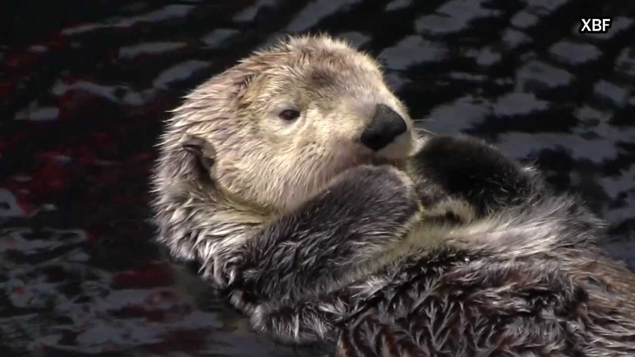 Cute Pets Wallpaper Hd Sea Otter Enhydra Lutris Hd Youtube
