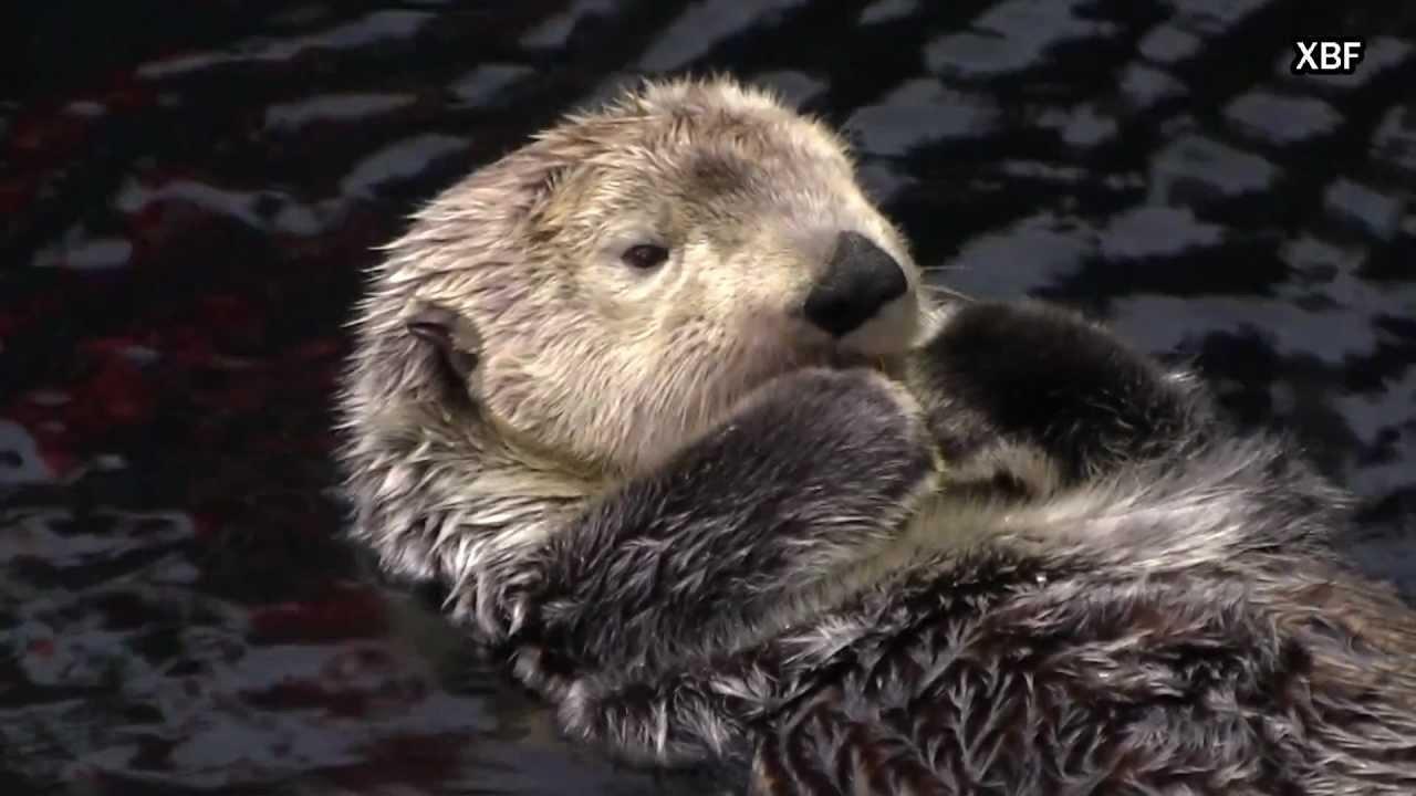 Cute Otter Wallpaper Sea Otter Enhydra Lutris Hd Youtube