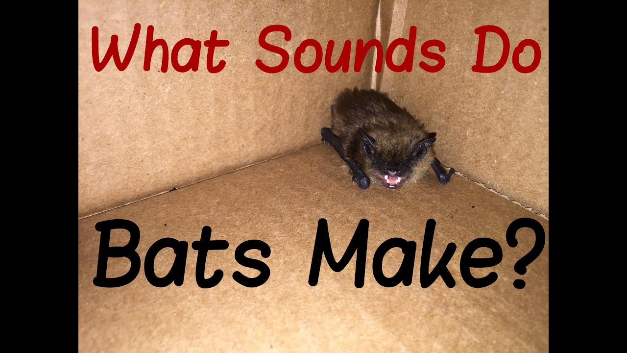 Do I Have Bats In My Home? Learn About Bat Noises And Sounds
