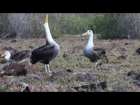 Mating dance of the waved albatros