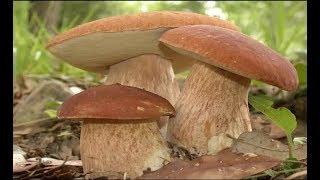 Как самому вырастить грибницу белых грибов