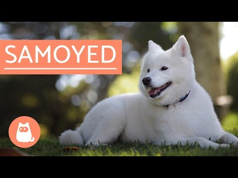 Samoyed Dog - history, characteristics and care