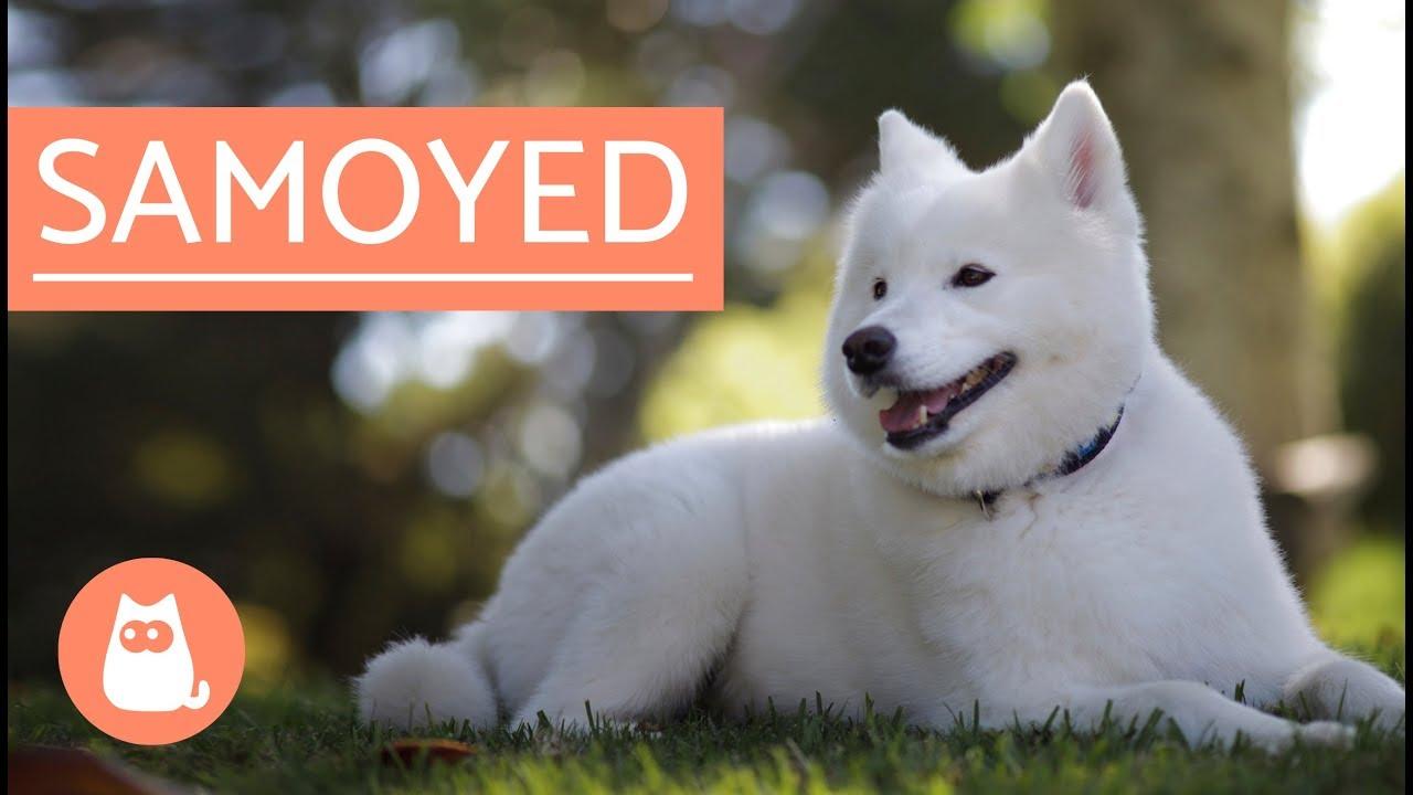 Samoyed Dog History Characteristics