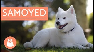 Samoyed Dog  history, characteristics and care