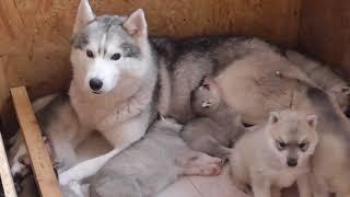 Мама Хаски защищает своих щенков !