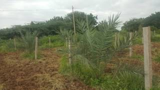 Date Palm Cultivation In Hyderabad... Date palm farm Journey