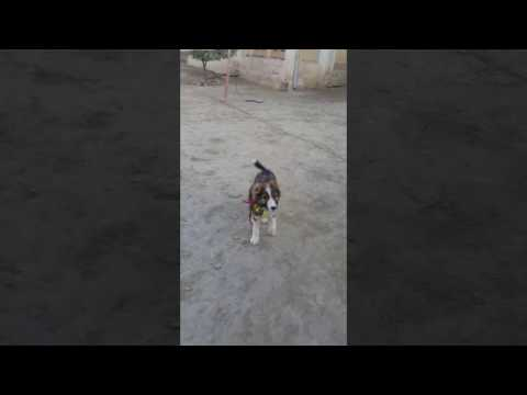 Afghan kuchi world strongest dog puppy 1.5months