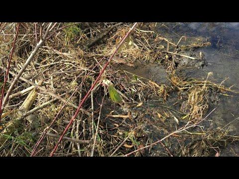 Removing a beaver dam!