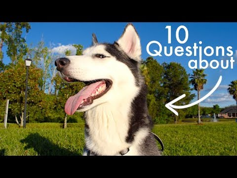 10 Questions All Husky Owners Ask!