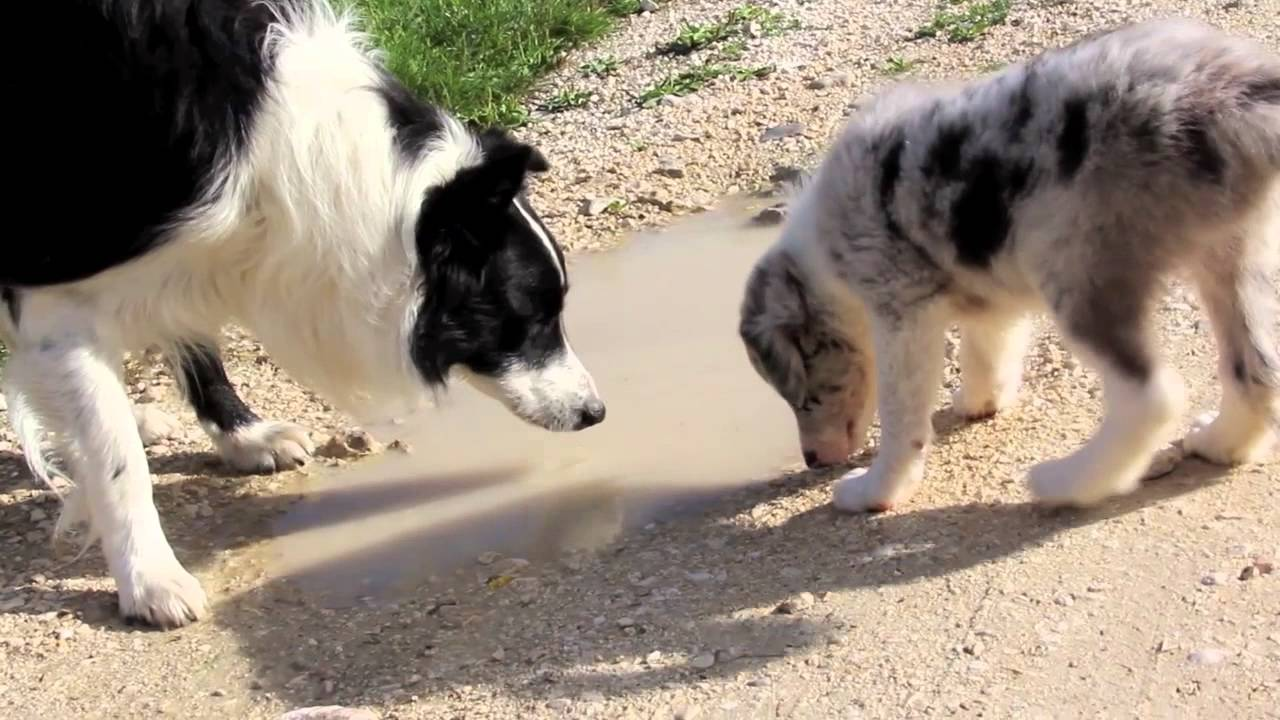 il cerchio della vita a Petrademone border collie cuccioli 2013