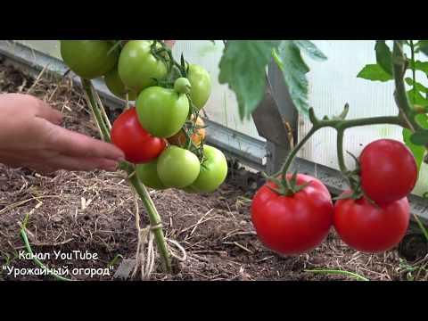 Вопрос: Какие оптимальные сорта помидоров и огурцов для хорошего урожая?