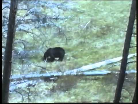 Yellowstone   Bear  & Moose