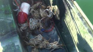 Crabbing with Bill in Everett Washington Aug 10th 2014 - Goldbarbarians Video