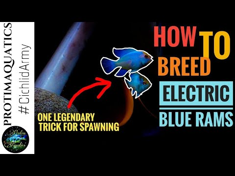 ELECTRIC BLUE RAM CICHLID || HOW TO BREED ELECTRIC BLUE RAMS