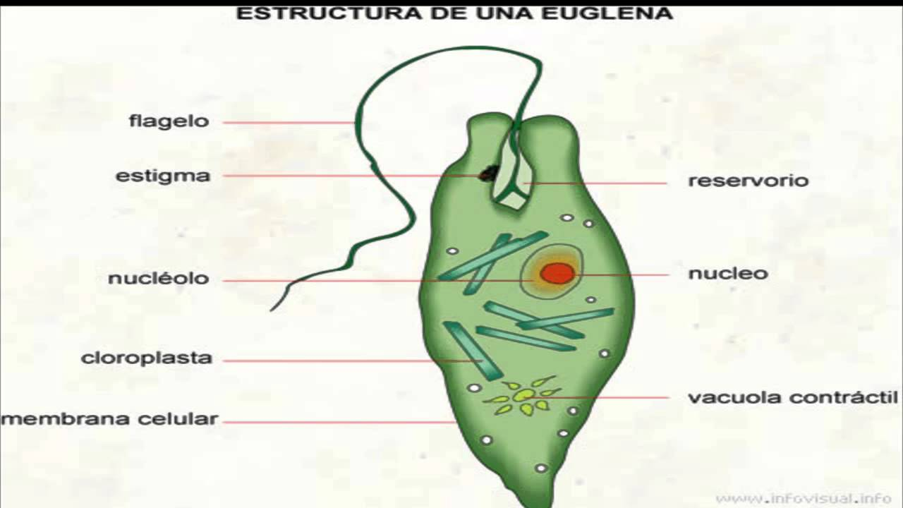 euglena youtube diagram of euglena with labeled [ 1280 x 720 Pixel ]