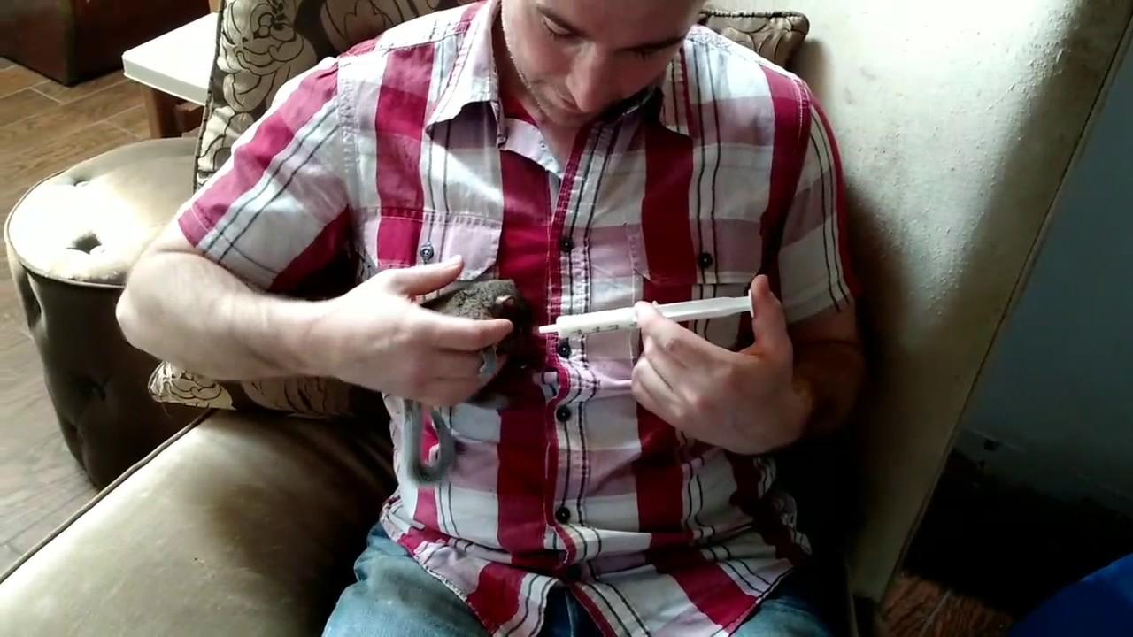 Raising orphaned squirrels - Meet Nutkin my pet squirrel