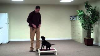 Maryland Dog Training Training  With 10 Week  Old Lab  Puppy