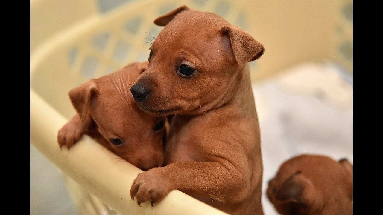Sweet Miniature Pinscher Puppies Youtube