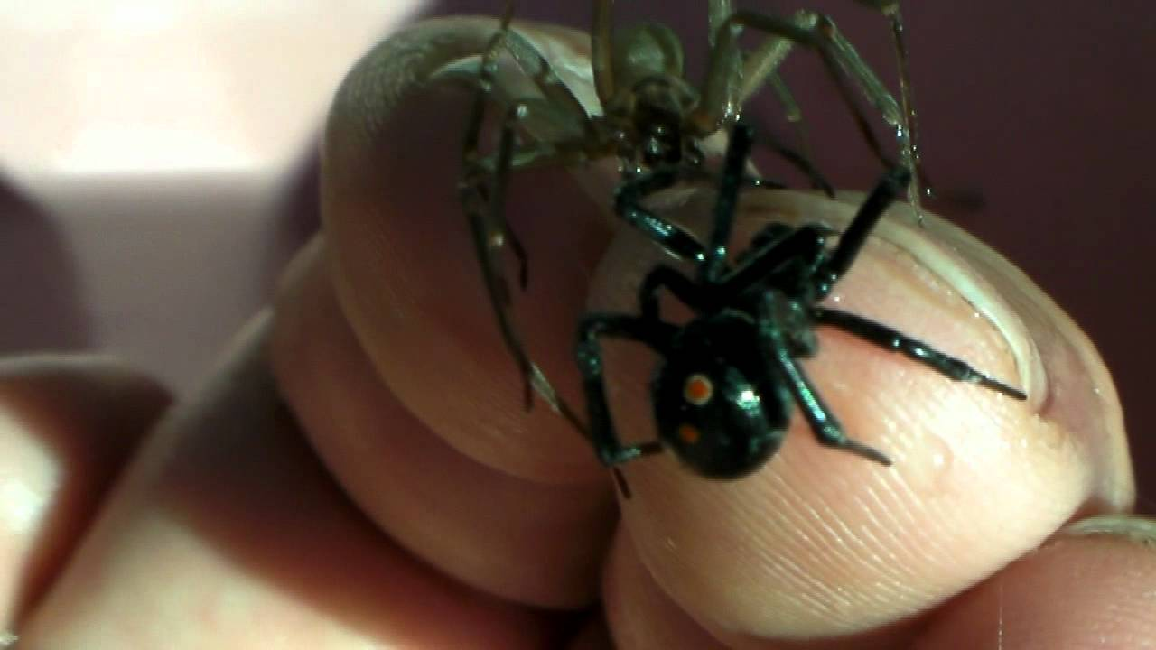 Brown Recluse and Black Widow on my hand at the same time - YouTube