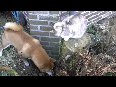Shiba inu not dodging cat attack
