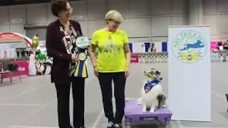 AKC Trick Dog: Elite Performer Routine (Sheltie)