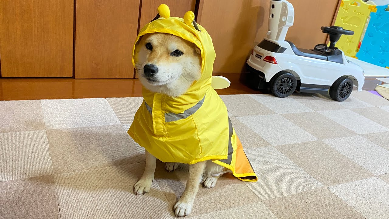 せっかくのお土産なのに飼い主の期待を裏切る愛犬の困り顔をご覧ください【豆柴すず】shibainu
