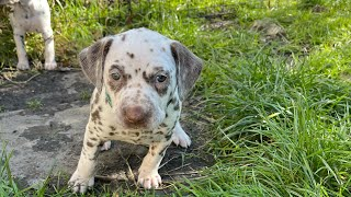 31 day old Dalmatian puppies