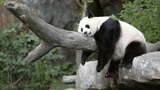 Funny Animals Video Compilation   Funny Panda Video   Cute Panda