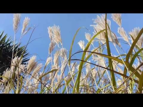 Tall Grasses - Miscanthus sinensis -  Tröllagras -  Húspuntur  - Strá -  Kornöx