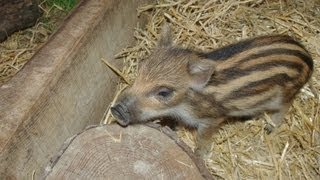 Hand reared wild boar piglets going from strength to strength