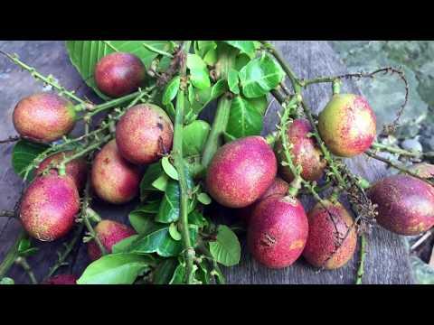 Buah Matoa (Pometia pinnata) - #Floranesia