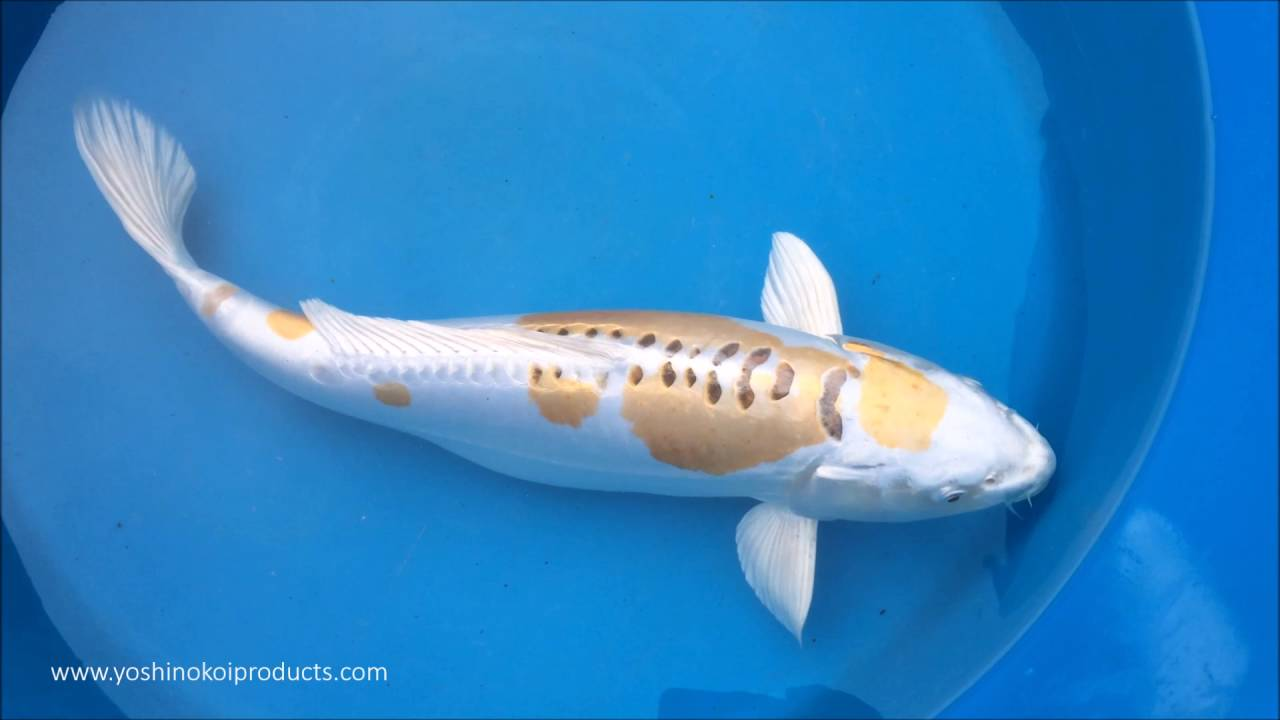 Sansai doitsu hariwake aoki customer koi may 2016 for Koi hariwake