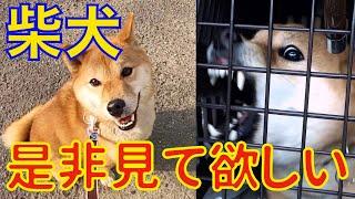 柴犬噛むの相談が異常に多いので、この動画を作成しました。 Dog Rescue...