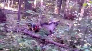 moose hunting with dogs! Охота на лося с собаками!